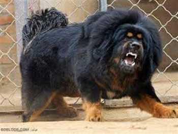 سگ وارداتی ماستیف تبتی
