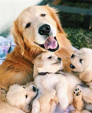 سگ گلدن رتریور،فروش سگ گلدن توله