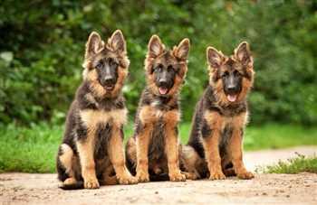 خرید و فروش سگ های گارد و نگهبان
