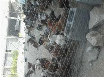 فروش مرغ و خروس