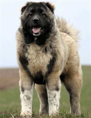 فروش سگ قفقازی بالغ اصیل