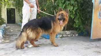 فروش توله سگ ژرمن