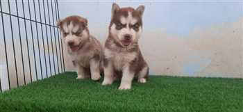 فروش سگ هاسکی سیبرین چشم ابی فوق العاده
