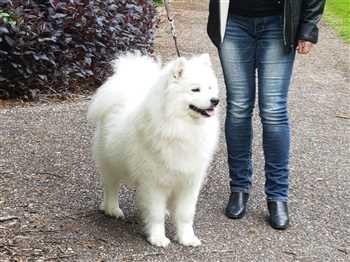 فروش سگ ساموئید زیبا