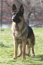 سگ نگهبان شیانلو