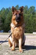 سگ ژرمن شپرد با بهترین کیفیت