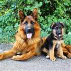 فروش سگ ژرمن شپرد