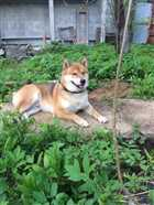 سگ نگهبان و محافظ آکیتا ژاپنی