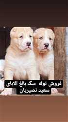 سگ الابای وارداتی