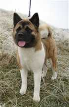 فروش ویژه سگ های امریکن آکیتا